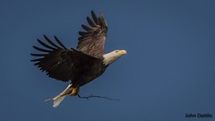 Nest building time in Southern Indiana (flintframer) Tags: bald eagles birds southern indiana wildlife nesting building canon 100400mm zoom 7d markii