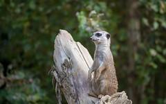Parco Natura Viva (02) - Meerkat (Vlado Fereni) Tags: parconaturaviva meerkat animals animalplanet italy zoosafari nikond600 nikkor8020028