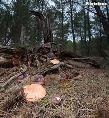 Hongos del Bosque - Forest mushrooms (Piloto_Loco) Tags: espaa mushrooms spain valladolid segovia boletus hongos setas saffronmilkcap lactariusdeliciosus nscalos niscalos lactariussanguifluus rovellon micula redpinemushroom mzcalo mizcalo guscano mcula guiscalo aisquete guiscano gusclao aisquele