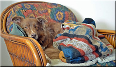 DDC-Partially Covered (Jo-Back To The 80's Again!) Tags: sweet covered blanket protective partial intelligent partially chocolatebordercollie inherchair shizandra ddc11201125