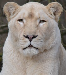 Luna @ Ouwehands Dierenpark 14-11-2014 (Maxime de Boer) Tags: cats white animals zoo big african lion luna dieren lioness rhenen witte ouwehands dierentuin leeuwin leeuw dierenpark ouwehand afrikaanse katachtigen