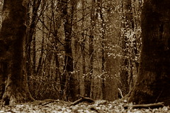 Forest love -    Sepia (RW-V) Tags: autumn trees netherlands monochrome sepia forest automne herbst herfst nederland bos wald paysbas fort apeldoorn niederlande gelderland 5000views 3000views 2500views 100faves 4000views 6000views 7000views 3500views 150faves 80faves 4500views hoogbuurlo 120faves 7500views canoneos60d 6500views lautumne canonef100mmf28lmacroisusm
