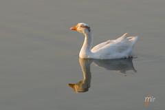 IMGP5432_#1-2 (Mir Faisal) Tags: pakistan lake reflection bird duck photographer wildlife mir faisal