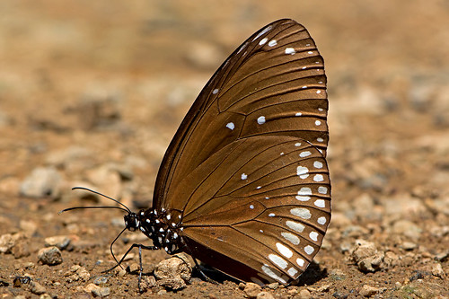 Euploea core - Common Indian Crow