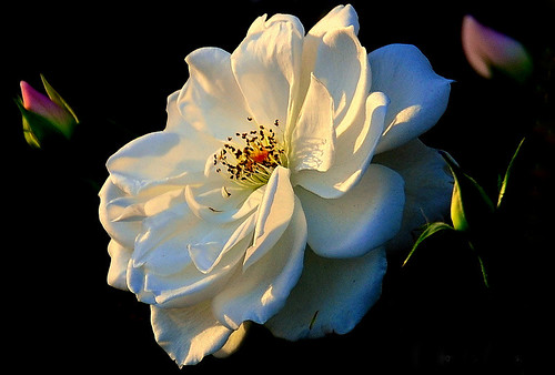 Rose & Buds