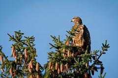 Juvenile Bald Eagle (jwfuqua-photography) Tags: birds buckscounty eagles jerrywfuqua juvenilebaldeagle nature peacevalleynaturecenter pennsylvania jwfuquaphotography birdsofprey newbritain