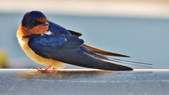 A swallow without a barn (Konabish ~ Greg Bishop) Tags: nature birds waterfront wildlife socal southerncalifornia swallow barnswallow avian longbeachcalifornia alamitosbay beautyunnoticed