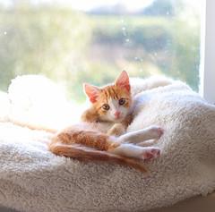 Sjakie (Iederedagkoningsdag) Tags: red cute window cat fur mirror paw aperture kitten kat play action sweet tail depthoffield whiskers poes kater raam 11weeks katje schattig sjakie katertje