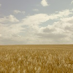 "tarwe_veld_tot_aan_de_horizon <a style=""margin-left:10px; font-size:0.8em;"" href=""http://www.flickr.com/photos/117161355@N07/15599912064/"" target=""_blank"">@flickr</a>"