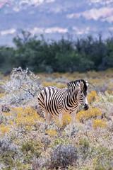 zebra Western Cape (Inti Runa) Tags: nature southafrica mammal ngc safari zebra mammifère westerncape canon100400mmlis canon7dmarkii