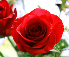 red rose thorns thankful grateful 6 (The Redhead Riter / Sherry Riter) Tags: roses rose redrose thankful grateful redroses closeuprose longstemredroses closeupredrose