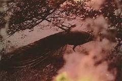 Phoenix (asmik Khurshudyan ovLoree) Tags: old original art film nature phoenix animal vintage fire photography austria 60s hell peacock nostalgia ashes 80s 70s oldphoto euphoria 90s anubis oldtimes melancholia photogrpahy pfau hasmik khurshudyan lovloree