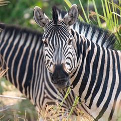 Zebra (whkubik) Tags: delta zebra afrika botswana okavango d800 80400mm botsuana nordwest