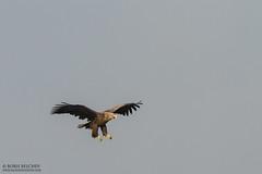 White-tailed eagle (Haliaeetus albicilla) (_alcedo_) Tags: nature birds raptor eagles lithuania birdofprey migrant breeder whitetailedeagle haliaeetusalbicilla