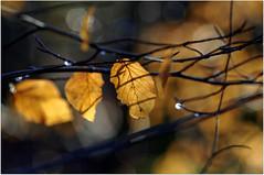 Gold Leaf Bokeh (eric robb niven) Tags: park winter nature walking bokeh dundee camperdown beechtrees platinumheartaward ericrobbniven pentaxk50