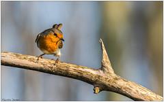 Pettirosso (Fausto Deseri) Tags: erithacusrubecula robin pettirosso sitodimanzolino wildlife nature birds wild oasiditivolimanzolino pentaxk3 pentaxfa300mmf45edif kenkotcaf15x pentaxart