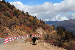 IMG_4881 (JOY-HUNG) Tags: china travel autumn trees yak sky cloud mountains color nature fence landscape mt tibet 西藏 nyingchi 林芝 namjagbarwa 魯朗林海 lulanglinhai