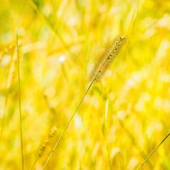 YellowGrass.jpg (Klaus Ressmann) Tags: autumn abstract grass yellow design olympus minimal system squareformat klaus omd em1 beacan ressmann omdem1 flcnat flcabsnat klausressmann olympusomdsystem