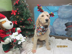 Pippin (happy_hounds) Tags: dogdaycare dog daycare puppy pups boarding cagefree dogsofflickr purebred rescuedog happyhounds plymouthmichigan happyhoundsdogdaycare