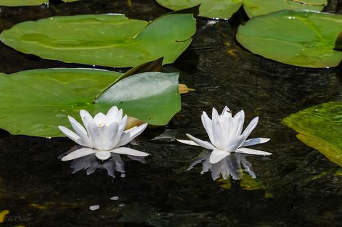 White Water Lilies. Nuferi Albi