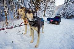 Jasper Winter 2014-69 (brendanvanson) Tags: winter snow canada ice dogs season jasper britishcolumbia alberta activity nationalparks dogsledding jaspernationalpark dogsled valmount fraserfortgeorgeh