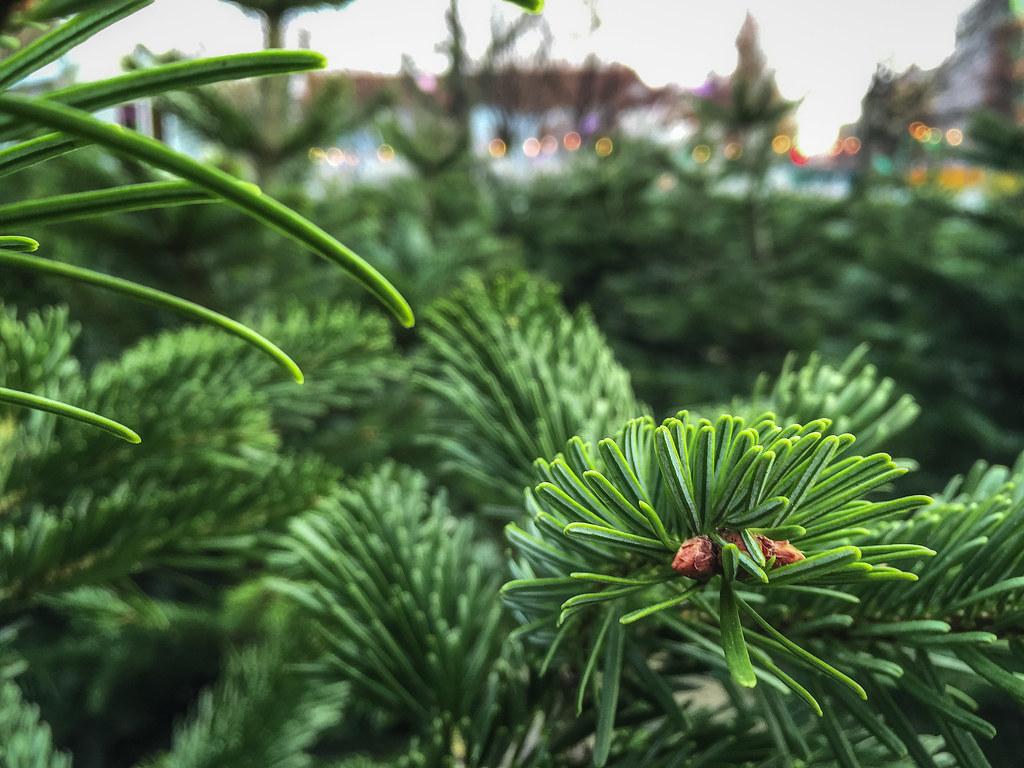 Nordmanntanne Weihnachtsbaum.The World S Most Recently Posted Photos Of Nordmanntanne Flickr