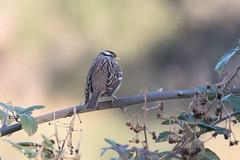 IMG_4637.jpg White-crowned Sparrow (ldjaffe) Tags: schwanlake whitecrownedsparrow