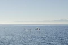 In Transit (Arne Kuilman) Tags: morning lake holiday water birds flying meer swiss low swans transit vliegen zwanen vliegende