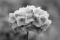Fragile (charlottz - Charlotte G Photography) Tags: morning flower garden one blackwhite petals frost bokeh monotone bloom icy fragile skeletal projectflickr picmonkey:app=editor