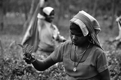 West Bengal (silvia.alessi) Tags: india tea teagarden westbengal incredibleindia teapicking teapickers