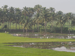 Rice Field Farming Reisfeld South India Tamil Nadu Asia (c) (hn.) Tags: copyright india water field kuh cow pond asia asien heiconeumeyer wasser rice paddy indian farming feld reis ox palmtrees palmtree bauer farmer agriculture ricefield teich oxen palme indien tamil ricepaddy tamilnadu cultivation coconutpalm palani reisfeld southindia flooded paddies pazhani anbau cocotier cocotiers paddie copyrighted palmen 2014 ochsen coconutpalms indisch paddi geflutet kokosnusspalme kokospalme ochse ricefarming coconutpalmtree sdindien reisanbau bewssert dindiguldistrict tp201415