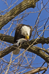 A bald eagle's Christmas feast  (Lock & Dam 14) (colinemcbride) Tags: christmas morning blue sky fish tree river mississippi fly branch eagle lock dam 14 bald iowa clear eat soar leclaire murica