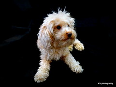 Alfie (kerry_hocking) Tags: dog black cute fur photography eyes southyorkshire jackadoodle