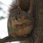 Squirrels on a Mild Winter's Day at the University of Michigan (January 19, 2015) thumbnail