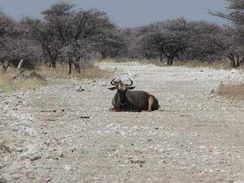 Gnou, Etosha, Namibie
