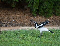 v2-5669 (Jackie888) Tags: summer birds afternoon australia queensland mygarden currawong mybackyard