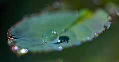 Father and Son (setoboonhong) Tags: morning sunlight macro nature water rose leaf drops bokeh refraction