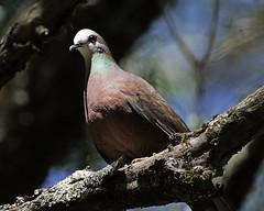 Lemon dove (Columba larvata) (Lip Kee) Tags: specanimal lemondove columbalarvata africanlemondove columbalarvatabronzina