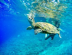 Meeresschildkröte auf Bali