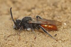 Nomada fabriciana, male (henk.wallays) Tags: