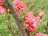 Pink frog (WhiteViolette) Tags: pink amphibian frog plumflower kaeru