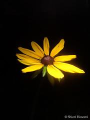 Rudbeckia hirta var. pulcherrima (Shiori Hosomi) Tags: flowers plants japan night tokyo nocturnal nightshot may  rudbeckia asteraceae  2016  asterales  noctuary   flowersinthenight  noctivagant  23