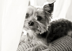 (mrs_fedorchuk) Tags: york family portrait blackandwhite bw favorite dog pet love home yorkie canon blackwhite friend terrier yorkshireterrier photoportrait bestdog dogbythewindow