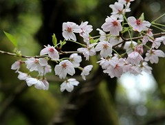 kabukiiii (jumbokedama) Tags: roses bees fullmoon cherryblossoms camellia bumblebees wisteria japaneseroses plumblossoms japaneselanterns japaneseflowers moonpictures beesonflowers japanesescenery viewsofjapan rosesofjapan