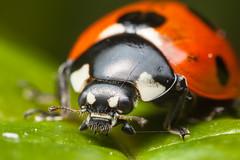 7 Spot Ladybird Portrait (.mushi_king) Tags: portrait macro garden insect flash 7 spot ladybird milton diffused mpe65