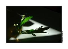 P1990771 (cowsandgirl71) Tags: flower fleurs lumire vert ombre panasonic muguet fz200 cowsandgirl71