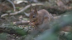 DSC08382rawcon_b (ger hadem) Tags: veluwe zwijn eekhoorn gerhadem