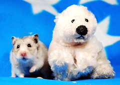 """We're hungry!"" ~ Fifi & Bear (pyza*) Tags: bear pet cute animal angel rodent furry critter hamster fifi hammie syrianhamster chomik filifionka"