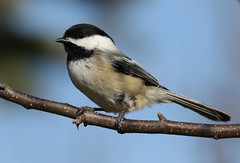 Chickadee (Diane Marshman) Tags: white black tree bird nature face neck spring wings branch head pennsylvania wildlife tail small gray feathers pa cap chickadee underneath throat northeast blackcapped