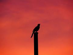 Singing in a beautiful twilight. (josefelix17) Tags: sunset red sky bird canon atardecer twilight rojo dusk venezuela lara ave cielo barquisimeto pjaro crepsculo